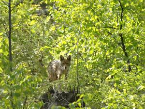 An adult coyote watching from the bush