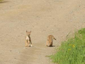 Two Coyote Pups Playing - photo taken from a distance