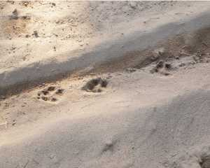 Coyote tracks in sand