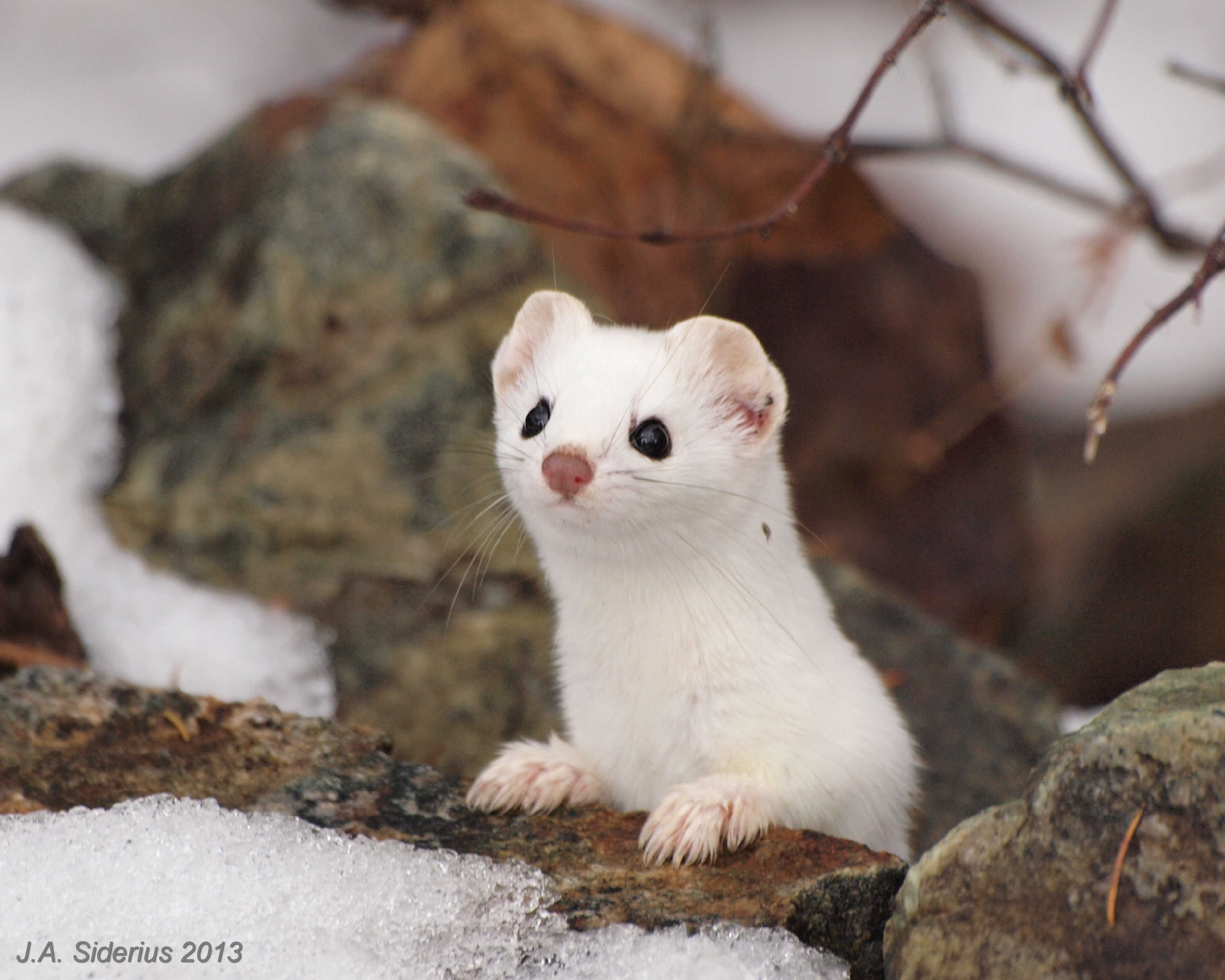 Cute White Weasels... Images - Frompo