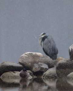 Great Blue Heron in winter