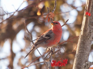 A Male Pine Grosbeak