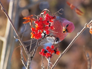A Male Pine Grosbeak feeding on Mountain Ash berries.