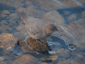 Dippers dive, swim and walk under water!
