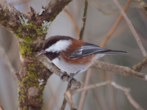 Chestnut-backed Chickadee at my feeder