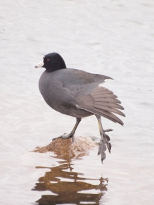 An adult American Coot drying off
