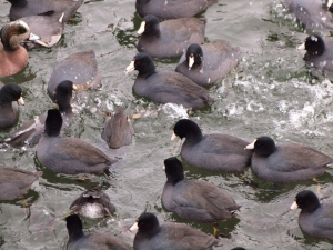 A raft of Coots