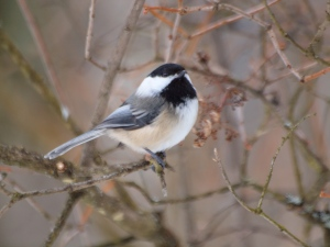A reliable visitor to the feeder.