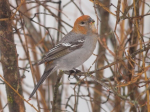 A Female Pine Grosbeak