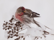 A Common Redpoll Feeding on Tansy Seeds