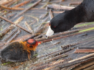 Parent feeding young coot.