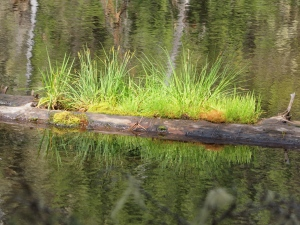 Green spring plants emerging  in a mountain lake