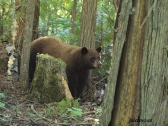 Brown-coloured Black Bear Sow