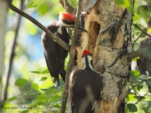 A Fledgling Pileated Woodpecker searching for insects in his father's excavation. He is using his long barbed tongue to find food.