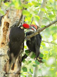 Pileated Woodpecker Male feeding a fledgling male, probably his son.