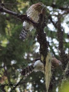 Two fledgling Cooper's Hawks