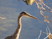 closeup of a Great Blue Heron
