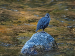 Dippers are so at home in the rushing waters of mountain streams