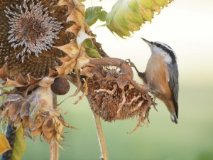 The sunflowers are a favourite food item.