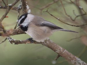 I have had Mountain Chickadees at the feeder for the first time in three years.