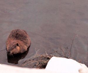 This beaver had not seen me just yet