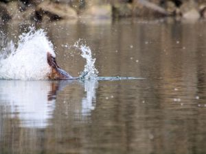 A beaver slapping its tail