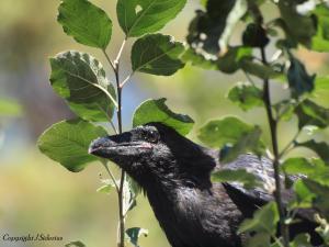 A curious young raven at Kokanee Creek Provincial Park
