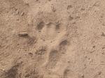 cougar track jul13