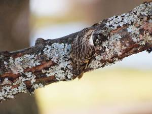 A Brown Creeper