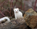 Short-tailed Ermine