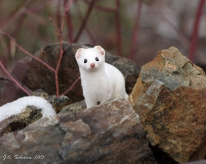 An Ermine - watching