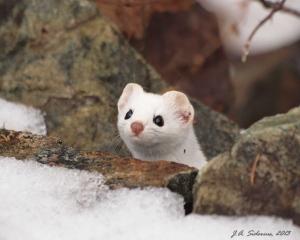 An Ermine in Winter