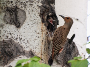 A female Northern Flicker  feeding a young flicker