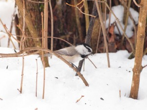 Mountain Chickadee in search of the best sunflower seed.