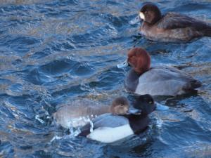 female Redhead Ducks emerges suddenly
