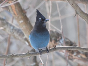 A Steller's Jay checking things out