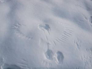Raven tracks in the snow