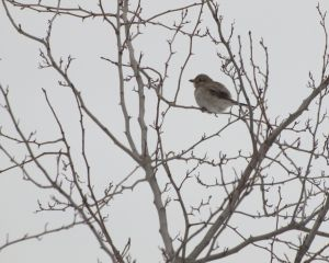 Northern Shrike in Hawthorne