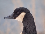 Watchful Canada Goose