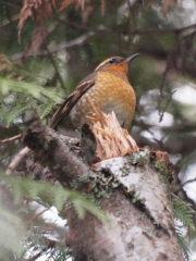 Female Varied Thrush in winter