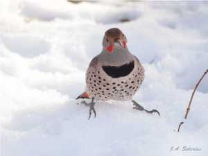 Northern Flicker looking for food