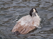 Ice on the back of a bathing goose.