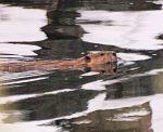 P2158349 beaver swim blog moreshadpw