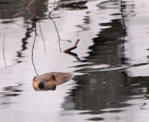 A Beaver in a winter pond