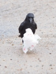 Crow and plasticbag