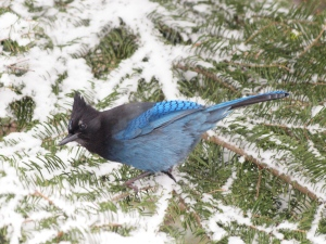 Winter Steller's Jay