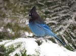 Winter Steller's Jay