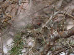 A Ruby-crowned Kinglet in winter