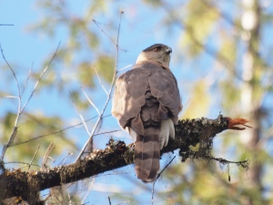 The male Cooper's Hawk early in the season