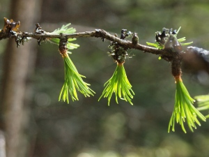 Young larch leaves